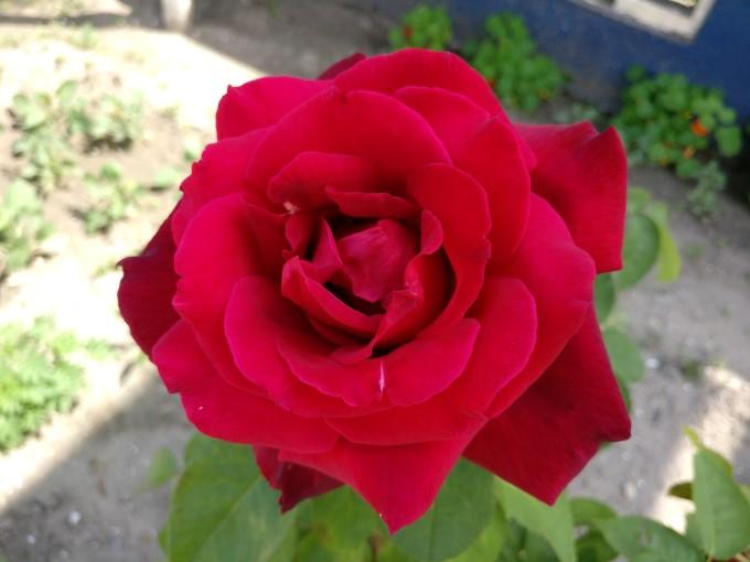 نمونه عکس وان پلاس 3 از گل رز