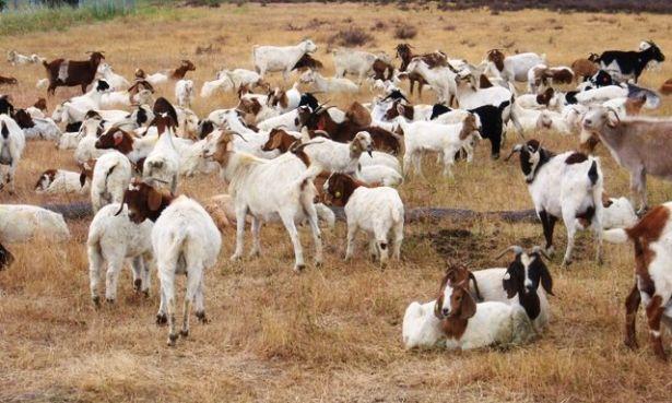 http-_mashable-com_wp-content_uploads_2010_06_goats