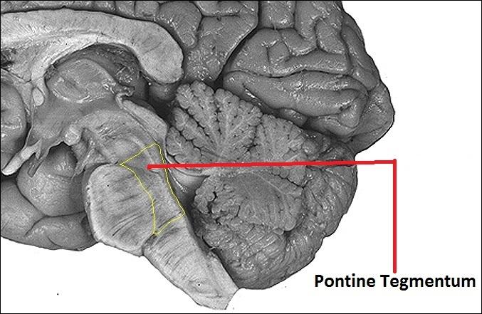 قسمت pontine tegmentum در مغز