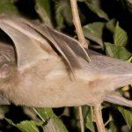 محققان با طراحی یک ماشین موفق به درک صدای خفاشها شدند