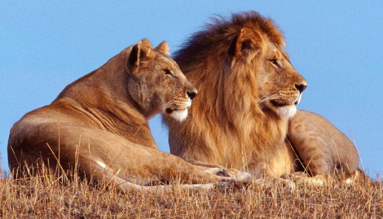 دیجی فکت؛ 10 حقیقت در مورد شیرها که احتمالا نمیدانستید