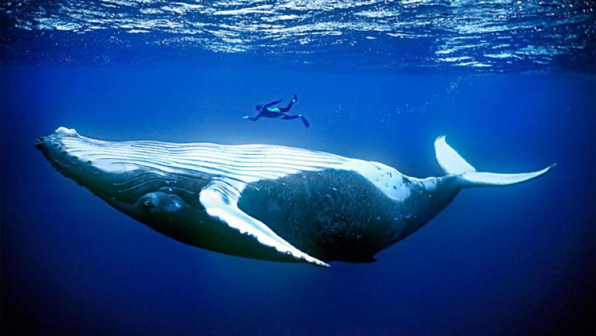 چرا پستانداران دریایی انقدر غولپیکر هستند؟