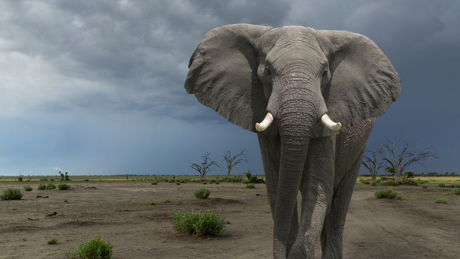 فیل: 500 نفر در هر سال