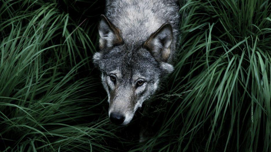 گرگها: 10 نفر در سال