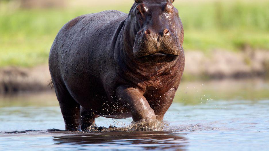 اسب آبی: 500 نفر در سال