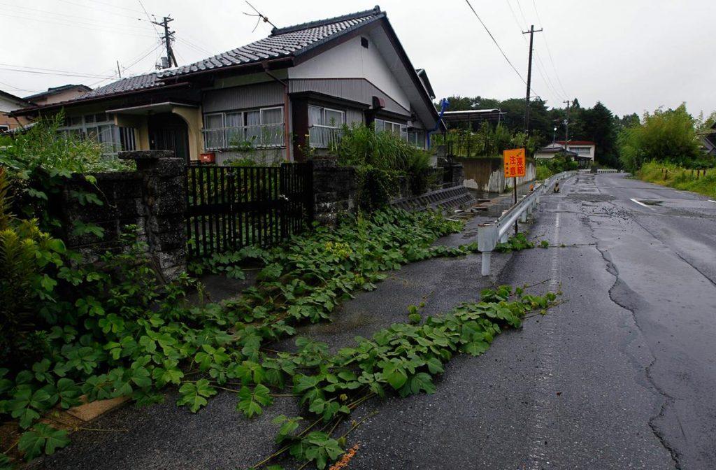 درخت آوی کادوی رشد کرده در یکی از خیابان های شمال شرقی ژاپن که خالی از سکنه است