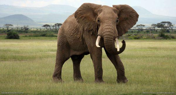 What todo Encounter Elephant BW 1200px 600x323 - حقایقی باورنکردنی از دنیای حیوانات که شما را شگفت زده خواهد کرد