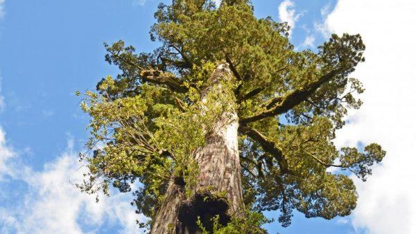پیرترین درختان جهان, درختان پیر, پیرترین موجودات زنده, سن درختان