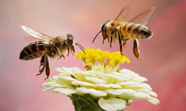 پنج کار شگفت انگیزی که زنبور عسل میتواند انجام دهد