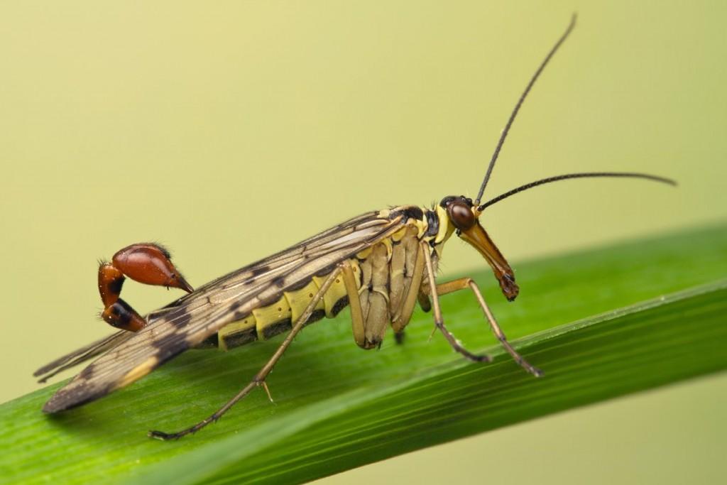 حشره فضایی Scorpionfly