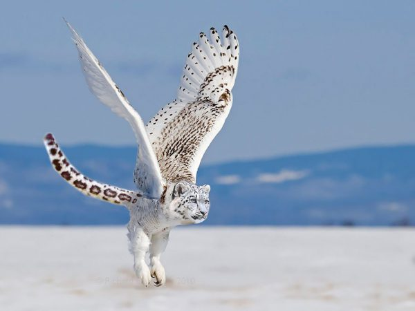 تصاویر فتوشاپ از حیوانات: اسنووی لیپوول