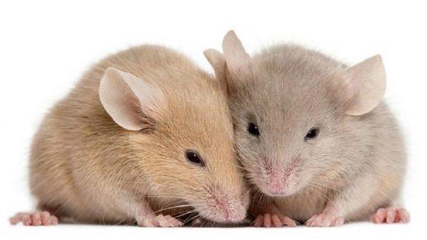 موش ها دوستدار تاریکی