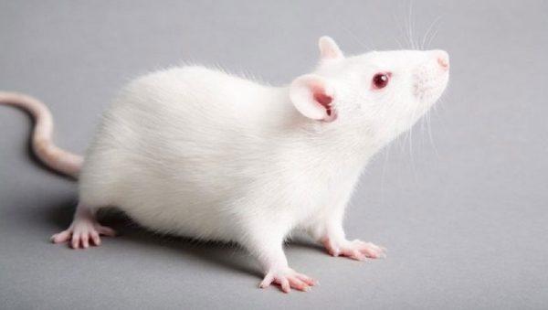 واقعیت موش ها