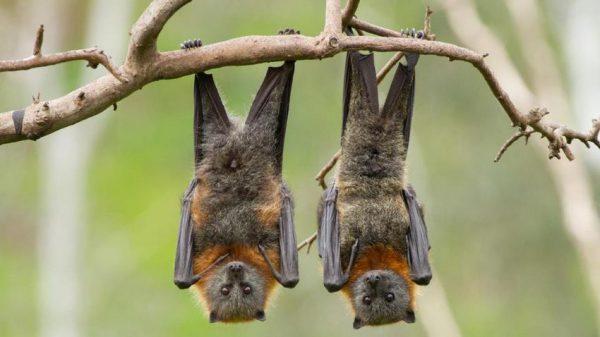 چرا خفاشها کرونا را منتقل میکنند اما خودشان مریض نمیشوند؟
