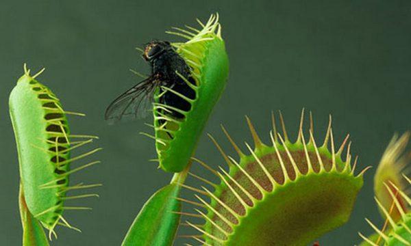 ونوس مگسخوار (Dionaea muscipula)