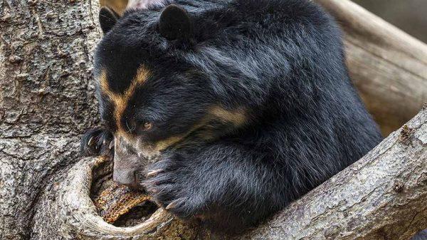 آیا خرسها واقعاً عاشق عسل هستند؟