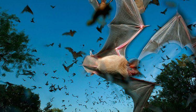 حقایقی جالب در مورد خفاش ها