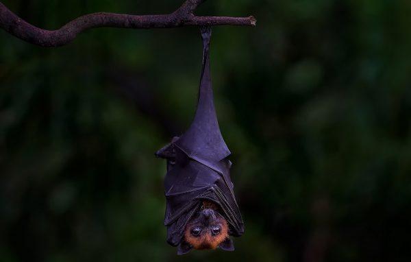 خفاش 6