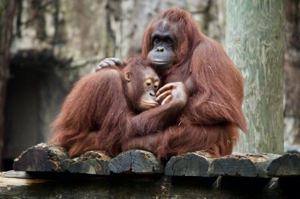 باهوشترین حیوانات : اورانگوتان