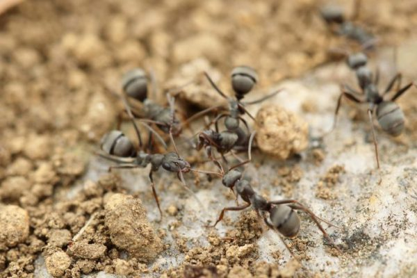باهوشترین حیوانات جهان : مورچه