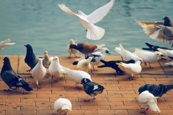 باهوشترین حیوانات جهان : کبوترها