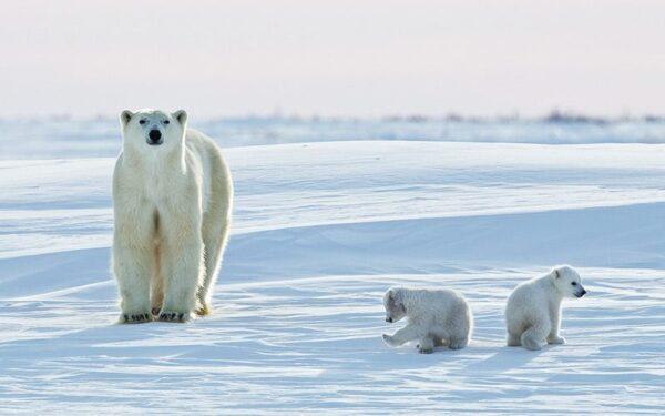 خرس قطبی 1