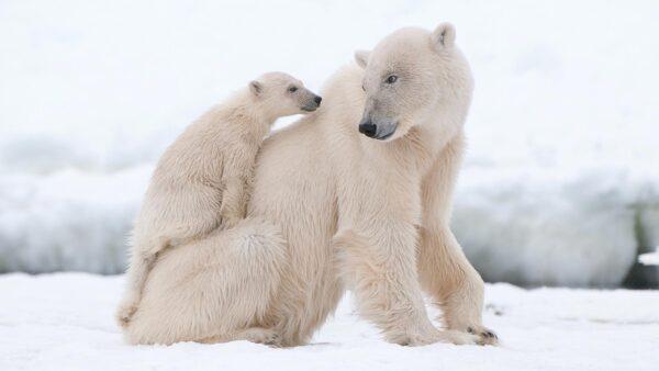 خرس قطبی 10