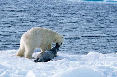 خرس قطبی 11