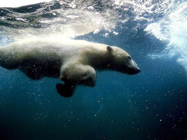خرس قطبی 4