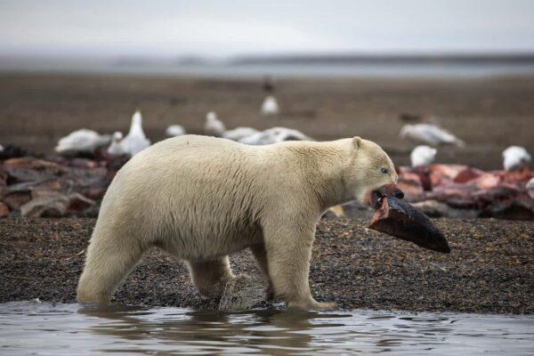 خرس قطبی 5