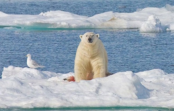 خرس قطبی 7