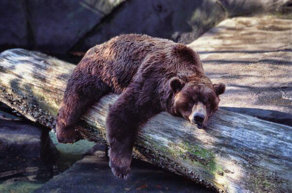 خرس قطبی 8