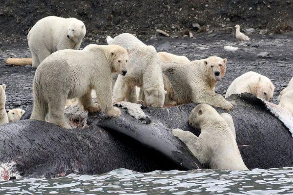 خرس قطبی 9