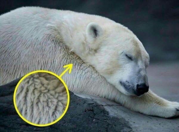 خرس قطبی3