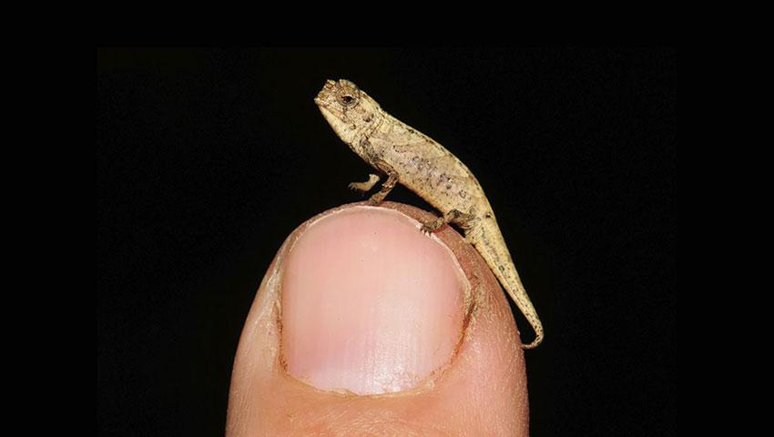 کشف یک گونه جدید و بسیار کوچک از آفتاب پرست ها