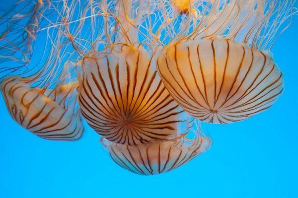 چتر دریایی استرالیا