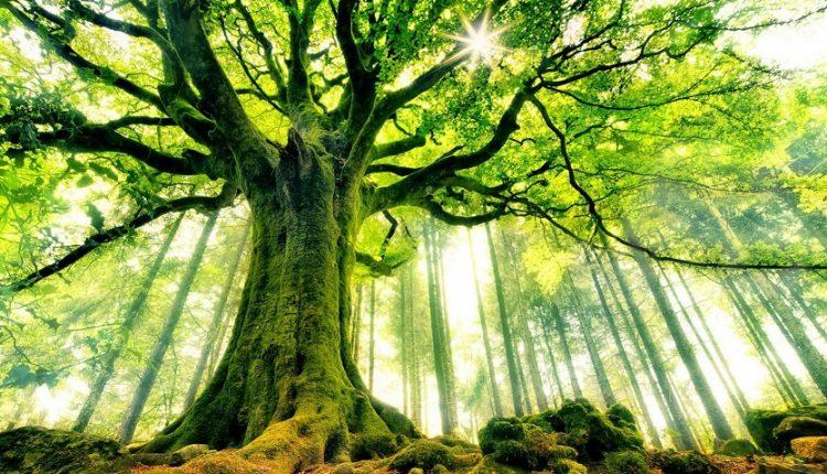 کهنسال ترین درختان جهان