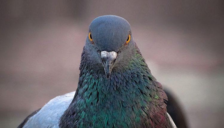 حقایقی جالب و خواندنی از کبوترها
