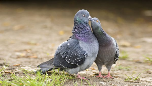 جفت کبوتر