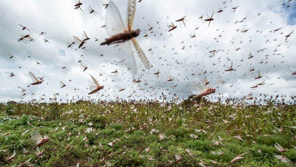 ازدیاد حشرات در غیاب گنجشک ها