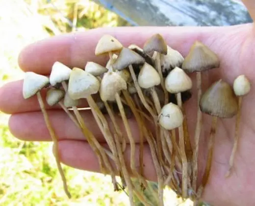 قارچ جادویی